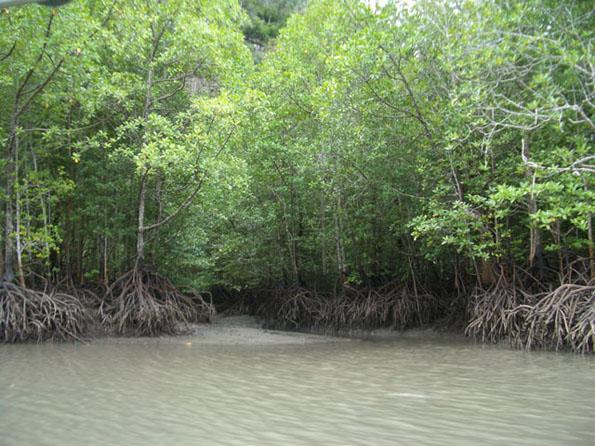 mangrove3.JPG